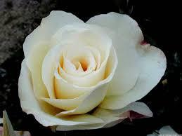 Rosal Grandiflora Gran Nord (blanco)