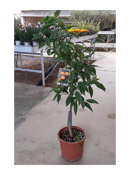 Mandarino LORETINA