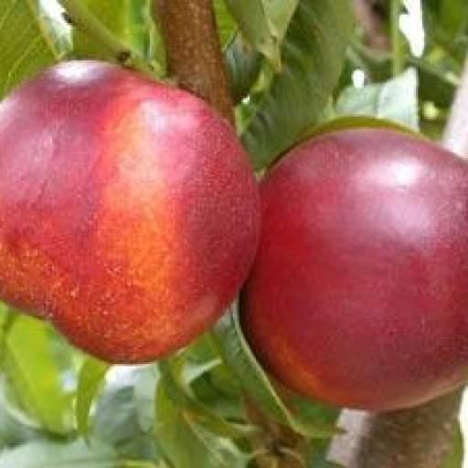 Frutal Enano Nectarina  [2]
