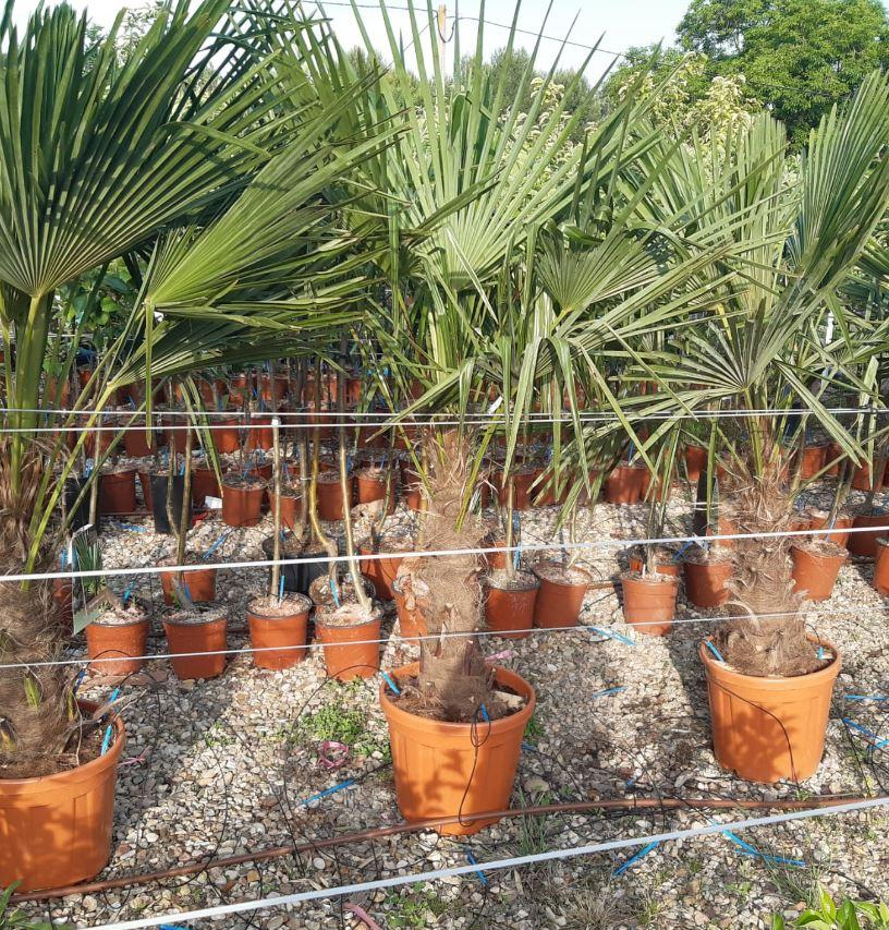 Palmera Trachycarpus Fortunei