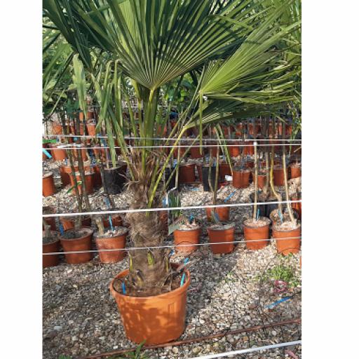 Palmera Trachycarpus Fortunei [1]