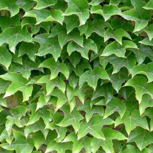 Parra Parthenocissus Tricuspidata