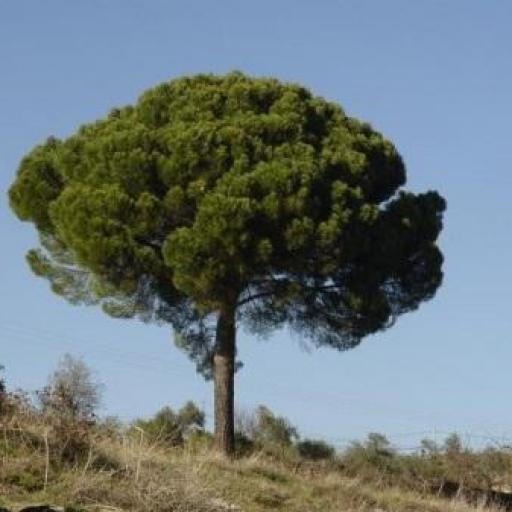 Pino Piñonero (Pinus Pinea) [2]