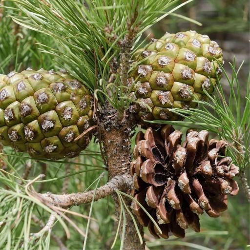Pino Piñonero (Pinus Pinea) [1]