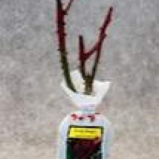 Rosal Grandiflora Chrysler Imperial (rojo) [1]