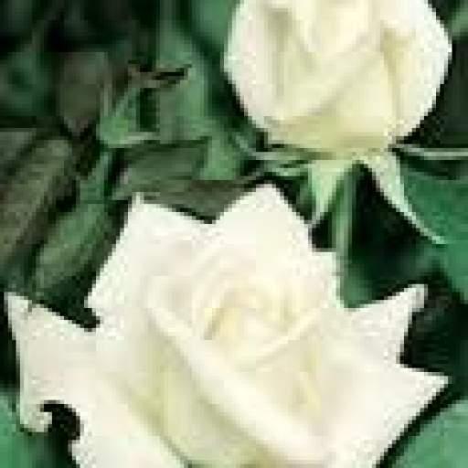Rosal Grandiflora Queen Elizabeth (blanco) [1]