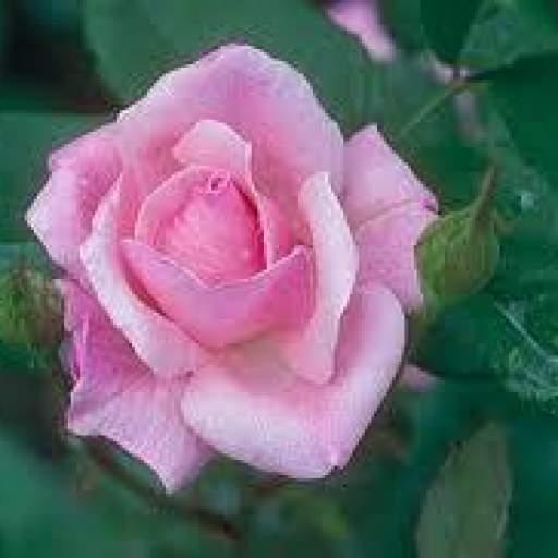 Rosal Grandiflora Queen Elizabeth (rosa) [2]