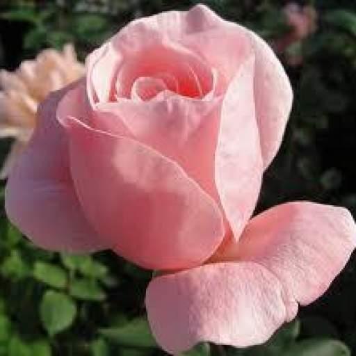 Rosal Grandiflora Queen Elizabeth (rosa) [1]