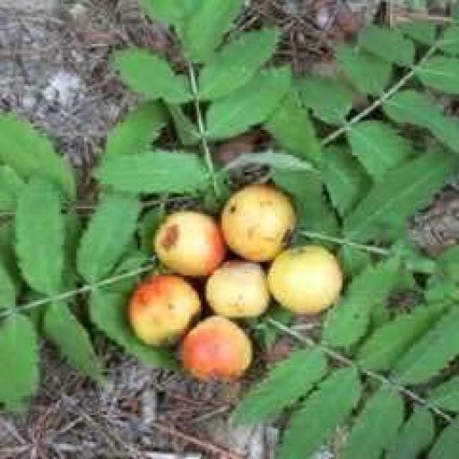Sorbus Doméstica (Azarollo, Acerollas) [1]