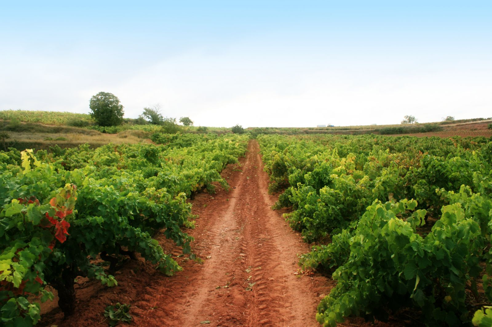 Viñedo-Vineyard Familia Acha 4.jpg
