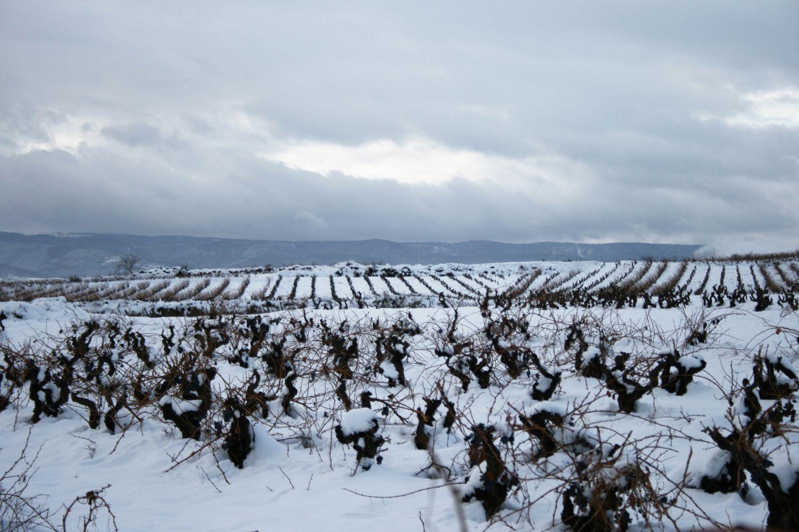Viñedo-Vineyard Hielo 2.jpg