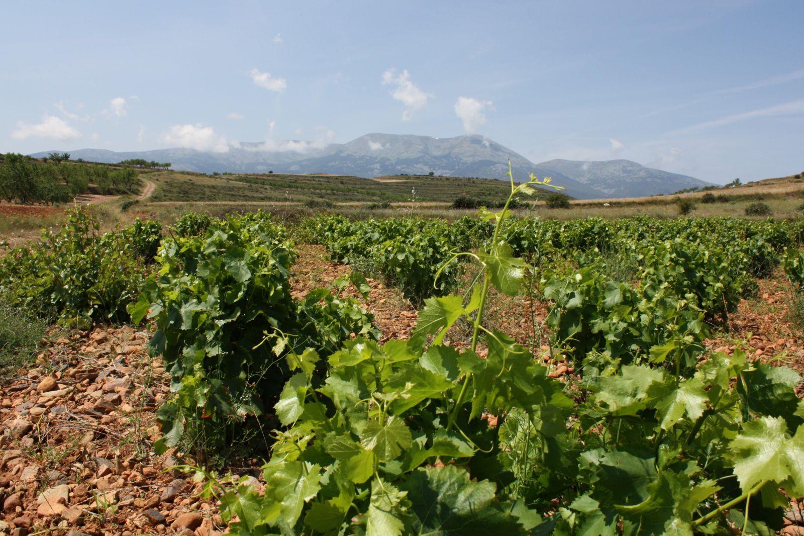 Viñedo-Vineyard Moncayo 6.JPG
