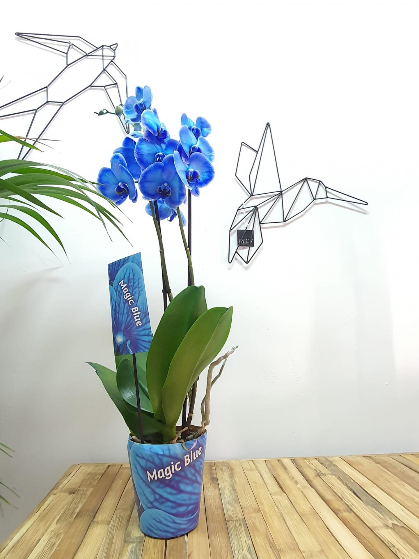 Orquidea Phalaenopsis azul