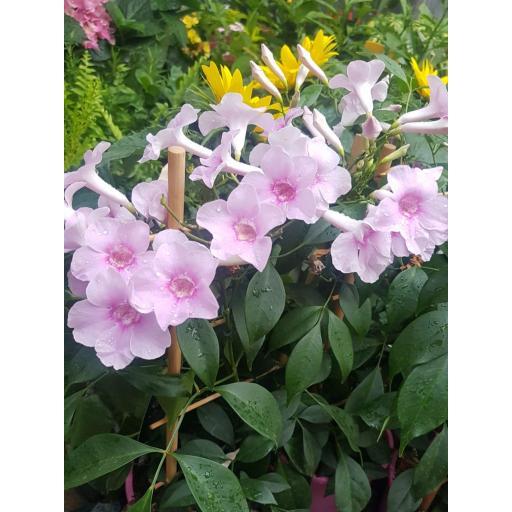 Pandorea jasminoides [2]