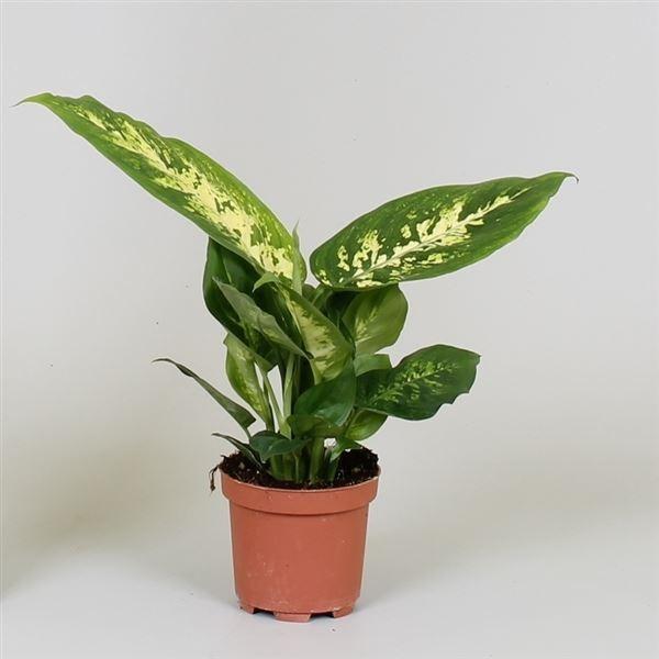 Dieffenbachia compacta
