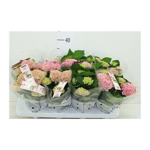 Hortensia revolution rosa 25 cm
