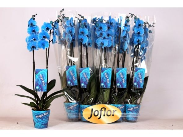Orquidea Phalaenopsis azul  [2]