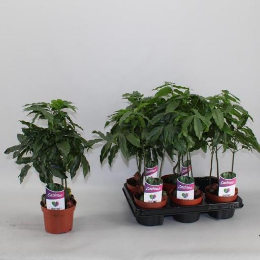 Castanospermum australe o Castaño de Australia