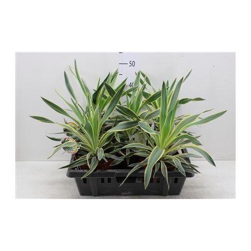 Yucca GLOR VARIEGATA