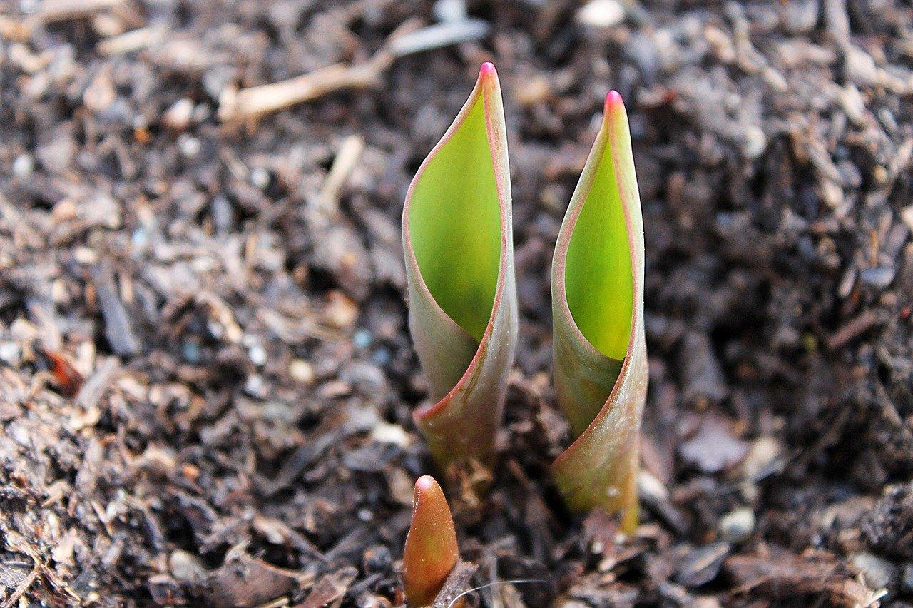 bulbo tulipan