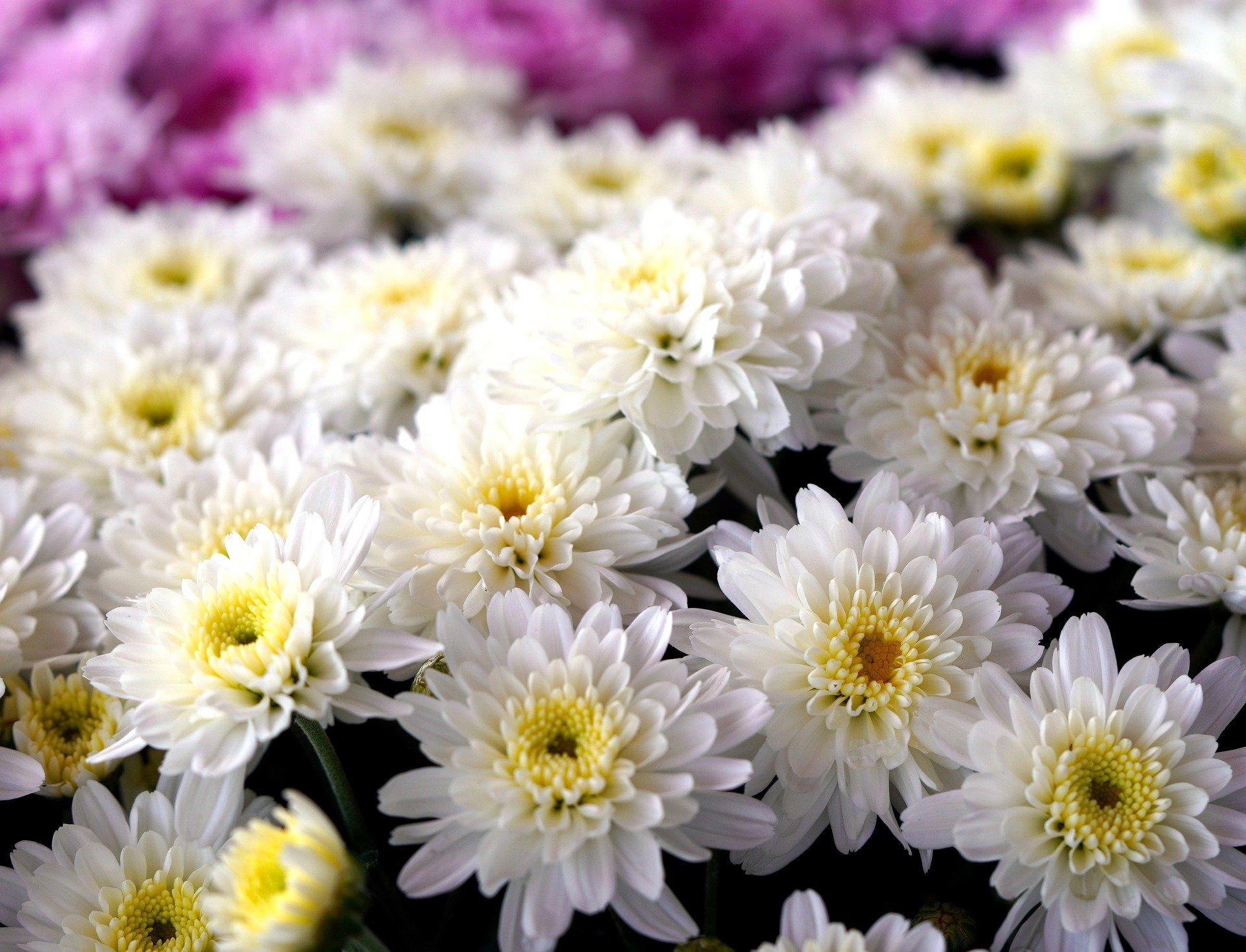 planta crisantelmo