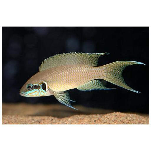 Princesa de Burundi - Lamprologus Brichardi 4-5cm