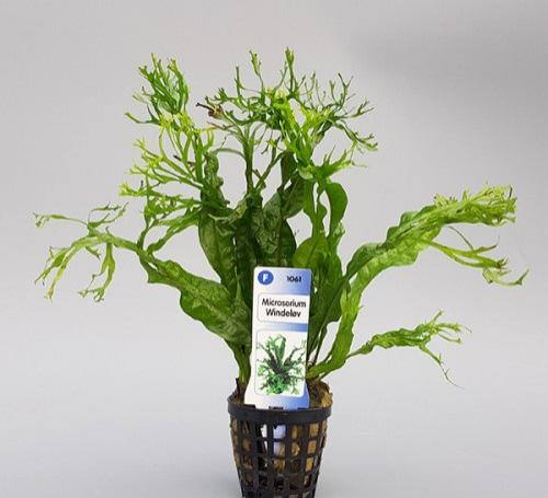 Microsorum Windeløv (crisped leaves)