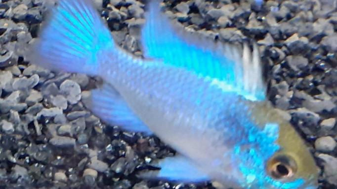 Ramirezi Azul Electrico 2-2,5cm