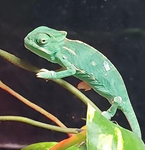 Camaleón Chamaeleonidae [1]