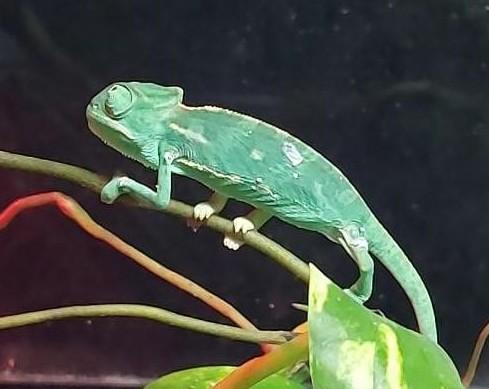 Camaleón Chamaeleonidae