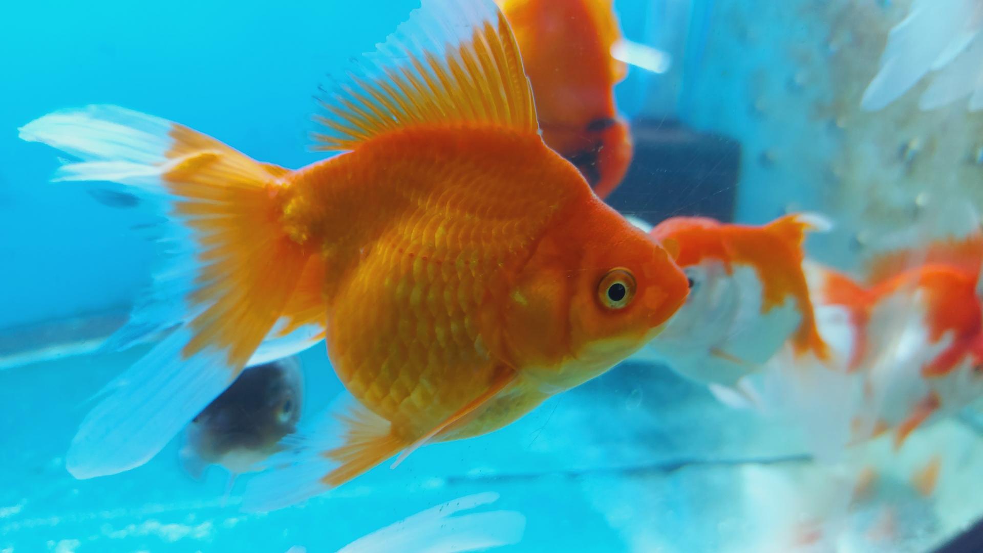 RYUNKIN Naranja Calidad AAA tamaño 7-9Cm