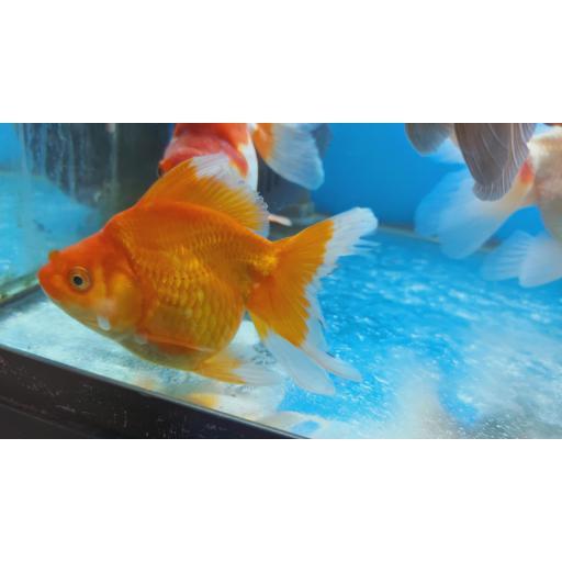 RYUNKIN Naranja Calidad AAA tamaño 7-9Cm [1]