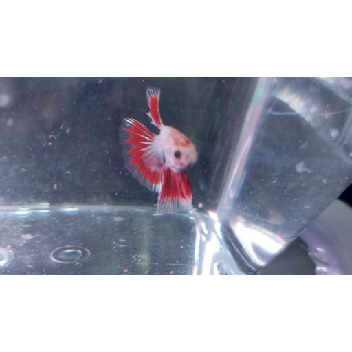 Betta Dumbo Rojo - Blanco 6-8cm