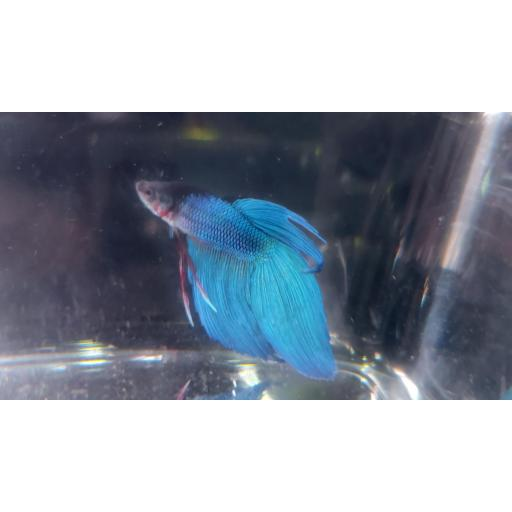 betta Splendens AZUL ELECTRICO 6-8CM