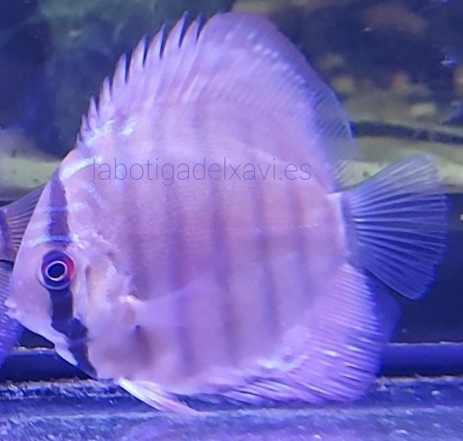 Disco Cobalto 5-6cm