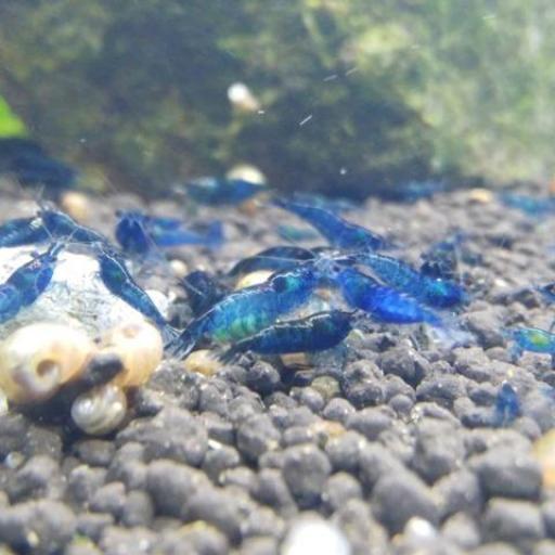 Gamba Caridina electric blue 1- 0,5cm [1]