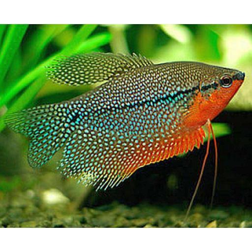 Gourami Perla - Trichogaster Leeri 4-4,5cm