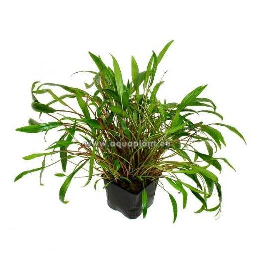Planta Madre Cryptocoryne species verde  XXXL