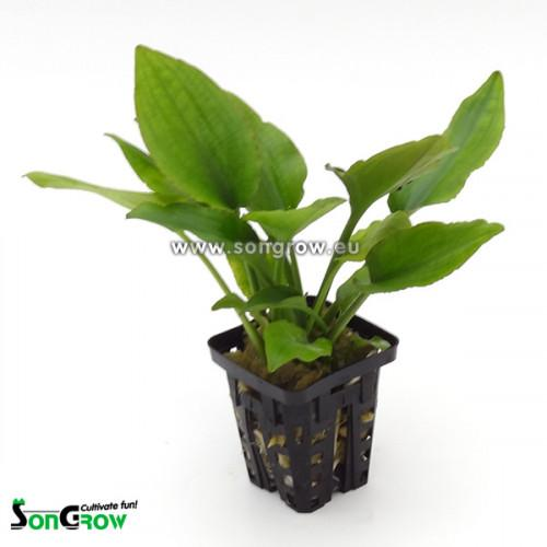 Lagenandra sp green