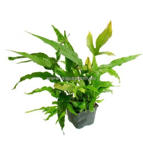 Planta Madre Microsorum pteropus XXXL