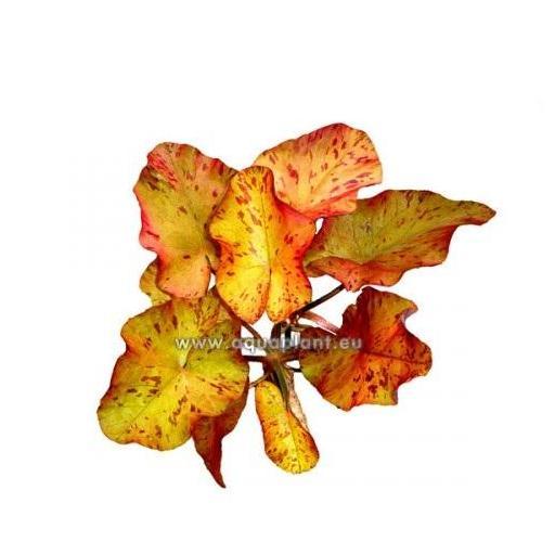 Nymphea tigerlotus bulbo con hojas