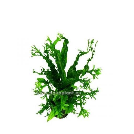 Microsorum Windeløv (crisped leaves) [1]