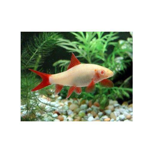 Labeo Frenatus Albino 3.5-4 cm [1]