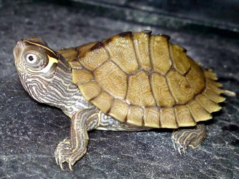 Tortuga Kohni 5-6cm  Graphtemys Pseudogeographica Kohnni
