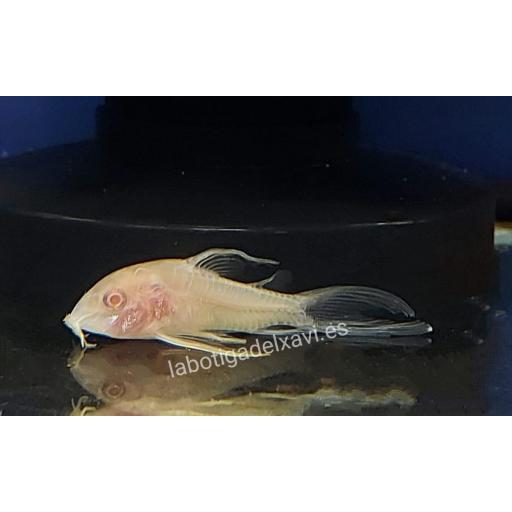 Corydora Albina de Velo 2,5-3 cm