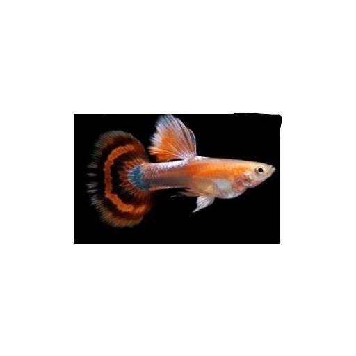 Guppy macho tricolor 3-3.5cm