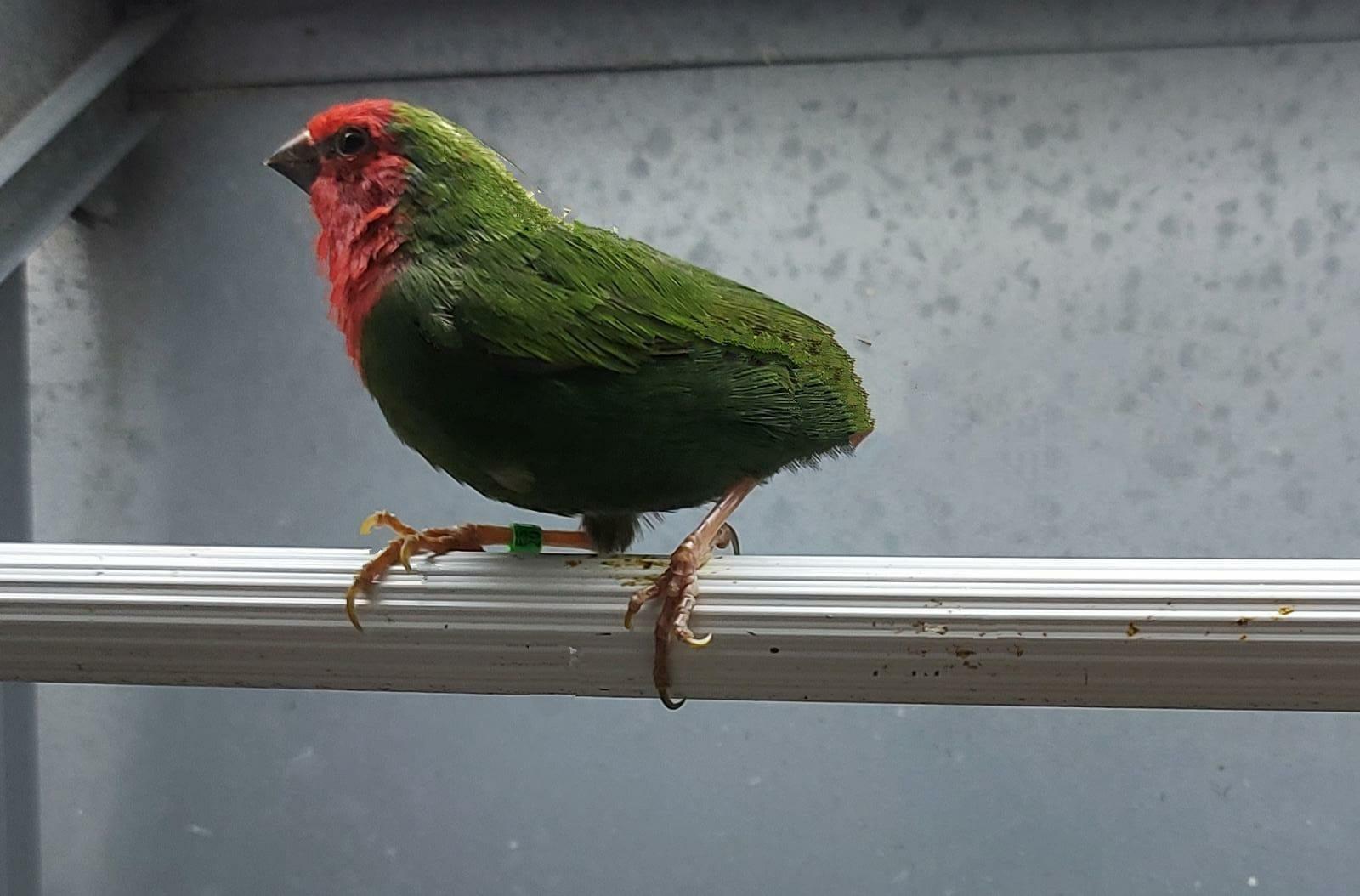 Pareja Diamante Papagayo verde