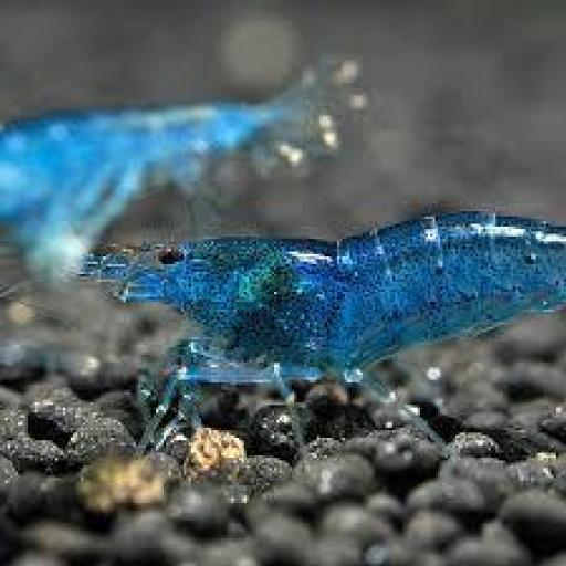 Gamba Caridina electric blue 1- 0,5cm
