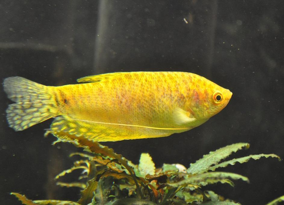 Gourami Amarillo  8-9cm