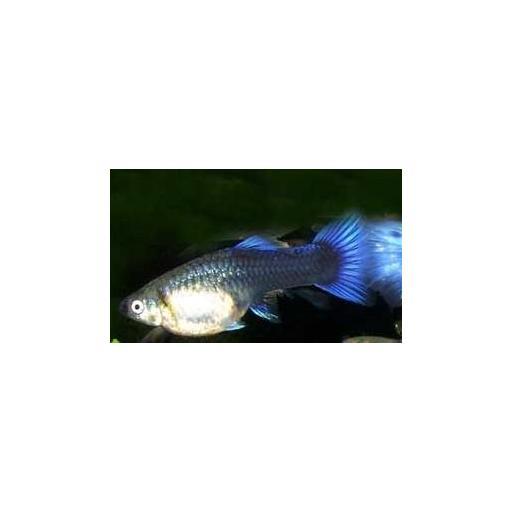 Guppy Hembra Neón Azul 3.5-4 CM